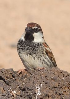 Free Sparrow Royalty Free Stock Photo - 18564495