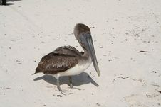 Free Pelican In Tulum Beach - Mexico Royalty Free Stock Photo - 18564545