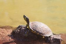 Free Terrapin Royalty Free Stock Photography - 18565207