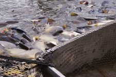 Free Carp Bodies Stock Image - 18565771