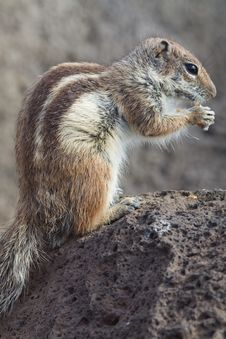 Free Ground Squirrel Stock Image - 18566901