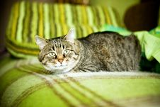 Free Ugly Cat Sitting On Sofa Stock Photography - 18567792