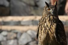 Free Long-eared Owl Stock Photo - 18568100