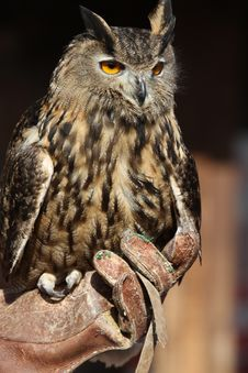 Free Long-eared Owl Royalty Free Stock Photography - 18568137