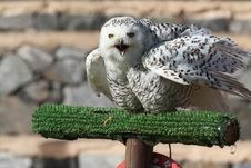 Free Snowy Owl Royalty Free Stock Photo - 18568175