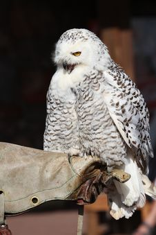 Free Snowy Owl Royalty Free Stock Photography - 18568187