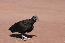 Free Bird Of Prey Royalty Free Stock Photo - 18568215