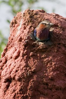 Lilac Breasted Roller Stock Photo