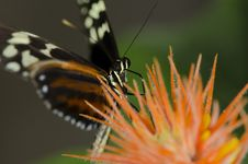 Free Tiger Longwing Butterfly Royalty Free Stock Photography - 18568787