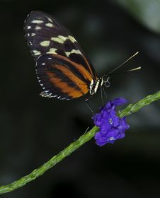 Free Tiger Longwing Butterfly Stock Photos - 18568793