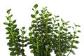 Free Houseplant Kalanchoe Blossfeldiana Background Stock Photos - 18576963