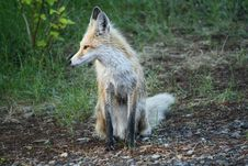 Free Red Fox On Break Stock Photos - 18570573