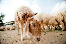 Free Sheep Stock Image - 18571331