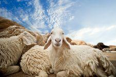 Free Sheep Stock Photo - 18571470