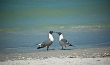 Free Laughing Gulls On A Florida Beach Royalty Free Stock Image - 18572026