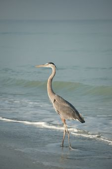 Free Great Blue Heron On The Beach Royalty Free Stock Photography - 18572057