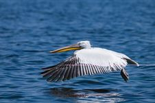 Free Dalmatian Pelican Royalty Free Stock Photography - 18574997