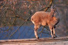 Free Goat Stock Image - 18575661