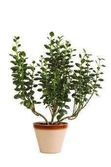 Free Houseplant Kalanchoe Blossfeldiana In Flowerpot Stock Photo - 18576960