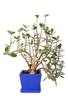 Houseplant Crassula In Flowerpot Royalty Free Stock Images
