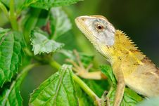 Free Lizard On Leaf Royalty Free Stock Photo - 18578235