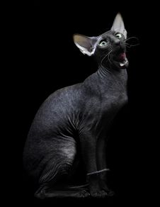 Young Canadian Sphynx Cat Sittingon On Black Backg Royalty Free Stock Photos