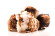 Free Guinea Pig. Baby Royalty Free Stock Photo - 18580305