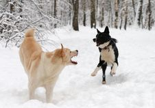 Two Dogs Play Snow Stock Image