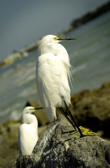 Free Two White Egrets On Rocky Coast Royalty Free Stock Photography - 18581397