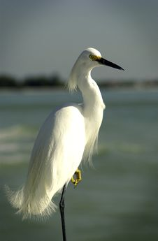 Free White Egret Standing On Leg Royalty Free Stock Images - 18581419
