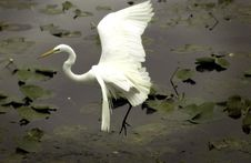 White Egret Flying Over Water Stock Images