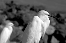 Free Pair Of Egrets Looking Over Rocky Shore Stock Image - 18581861
