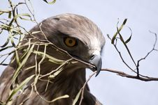 Free Falcon With Olive Branch Royalty Free Stock Image - 18582626