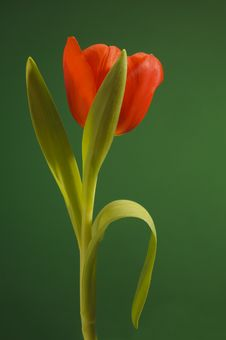 Free Easter Tulip Flower Stock Photography - 18584262