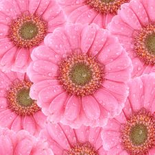 Free Pink Gerbera Background Royalty Free Stock Photography - 18584867