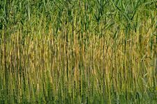 Free Reed In The Lake Royalty Free Stock Images - 18584879