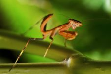 Praying,Praying Mantis,Mantis Look. Royalty Free Stock Images