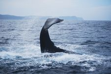 Free Humpback Whale Stock Photography - 18585912