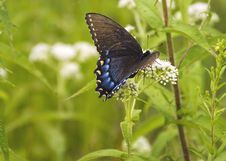 Free Blue Swallowtail Stock Image - 18586561