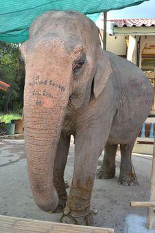 Free Old Female Elephant. Stock Photography - 18586892