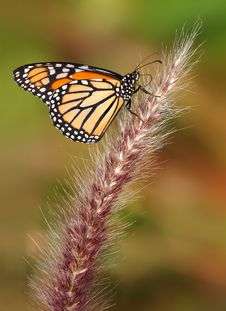 Free Monarch Butterfly Royalty Free Stock Photography - 18587177