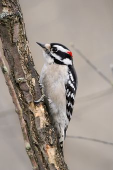 Free Downy Woodpecker Stock Photography - 18587282