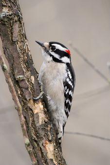 Downy Woodpecker Stock Photography