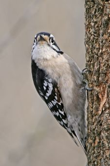 Free Downy Woodpecker Stock Photo - 18587290