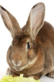 Free Grey Rabbit Stock Images - 18588014