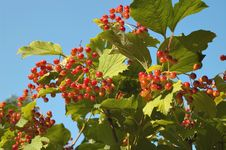 Free Guelder-rose Stock Images - 18588194