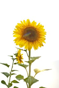 Free Sunflower Royalty Free Stock Photography - 18588237