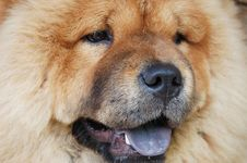 Free Little Chow-chow Stock Images - 18588294