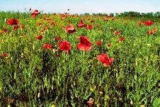 Free Poppies Stock Image - 18588361