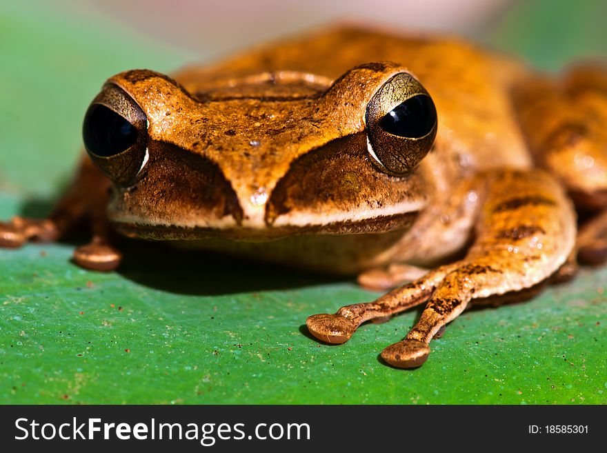Tree frog on a lotus leaf,Brown tree frog.